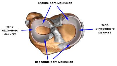 Оба мениска образованы волокнистым хрящом и прикрепляются спереди и...