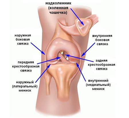 Коленный сустав - анатомия