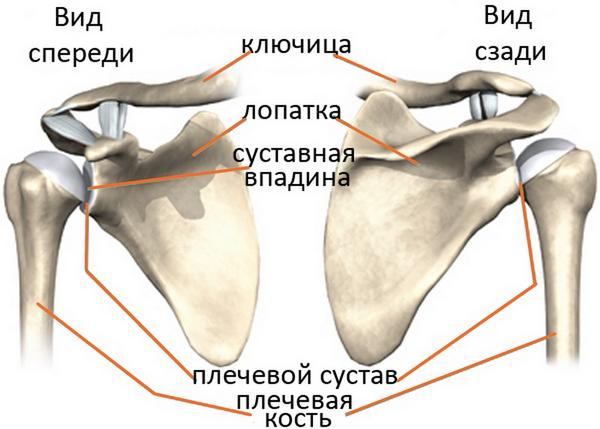 анатомія плечового суглобу